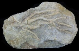Culmicrinus vagulus - Fossils For Sale - #58269