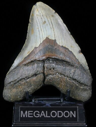 "Huge, 5.70"" Megalodon Tooth - North Carolina"