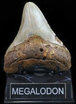 Carcharocles megalodon - Fossils For Sale - #59034