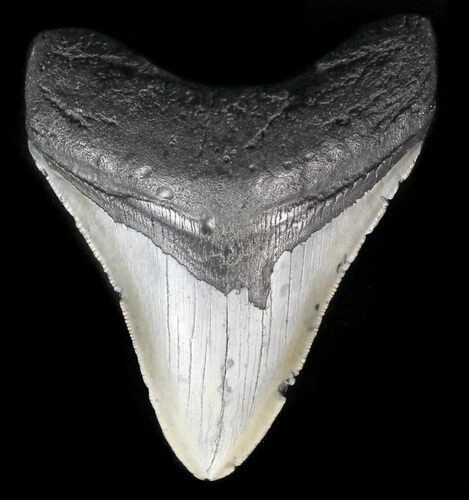 "Serrated, 4.13"" Megalodon Tooth - North Carolina"