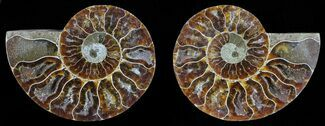Cleoniceras - Fossils For Sale - #59454