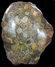 "5.3"" Polished Fossil Coral Head - Morocco For Sale, #60026"