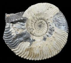 "Buy 1.8"" Wide Kosmoceras Ammonite - England - #60304"