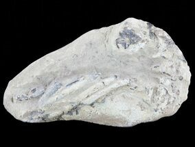 Fossil Lobster (Meyeria) - Cretaceous, Isle of Wight For Sale, #60311