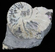 "Buy 2.2"" Hoploscaphites Ammonite - South Dakota - #60229"