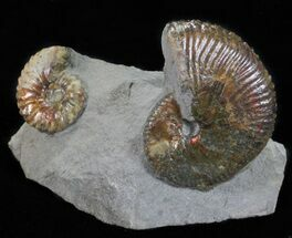 Hoploscaphities Ammonite Double - South Dakota For Sale, #60236