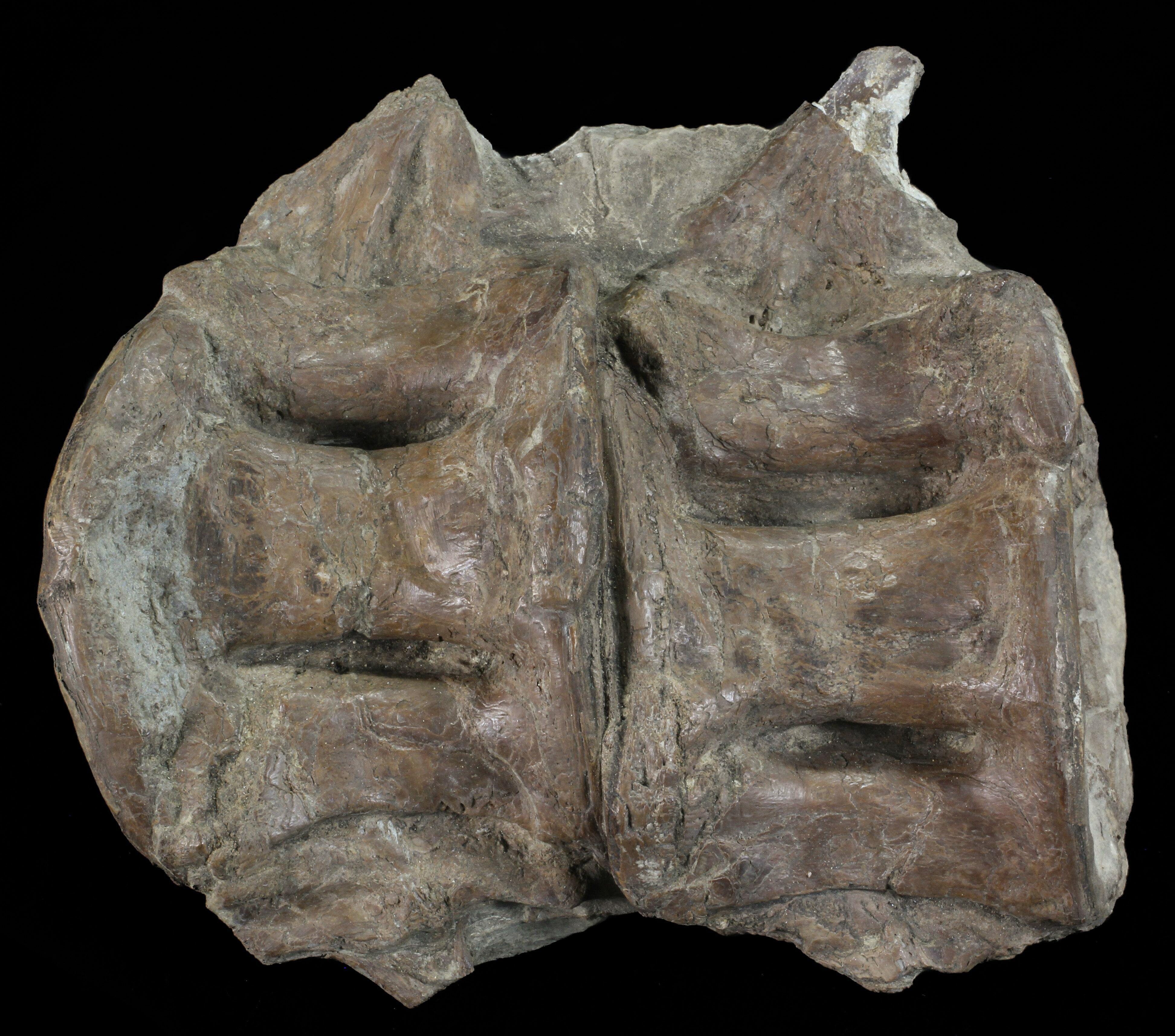 "4"" Two Fused Xiphactinus Vertebra - Kansas For Sale ..."