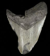 Carcharocles megalodon - Fossils For Sale - #61671