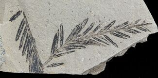 Metasequoia (Dawn Redwood) - Fossils For Sale - #62286