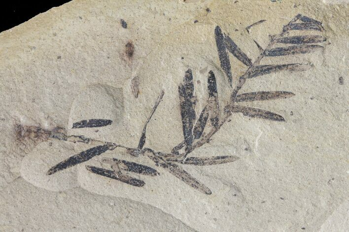 Metasequoia (Dawn Redwood) Fossil - Montana