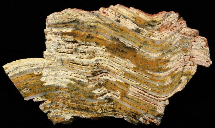 "5.1"" Strelley Pool Stromatolite - 3.43 Billion Years Old"