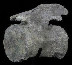 "Buy 10.7"" Camarasaurus Caudal Vertebrae With Metal Stand - Colorado - #62728"
