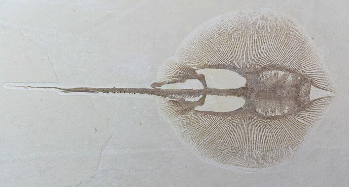 "Large, 18.7"" Fossil Stingray (Heliobatis) - Wyoming"
