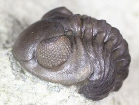 Bargain, Enrolled Acastoides Trilobite - Malvern, England  For Sale, #62879