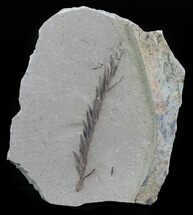 Metasequoia (Dawn Redwood) - Fossils For Sale - #62355