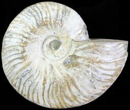 "Buy 5.9"" Silver Iridescent Ammonite - Madagascar - #61507"