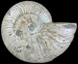 "5.3"" Silver Iridescent Ammonite - Madagascar For Sale, #61502"
