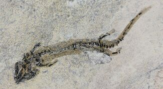 "2.2"" Permian Branchiosaur (Amphibian) Fossil - Germany For Sale, #63584"