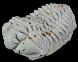 Calymene celebra - Fossils For Sale - #64035