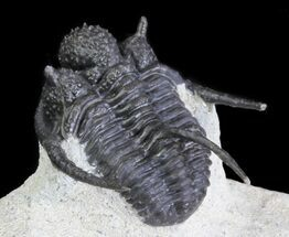 "Buy 1.3"" Bumpy Cyphaspis Trilobite  - #64411"
