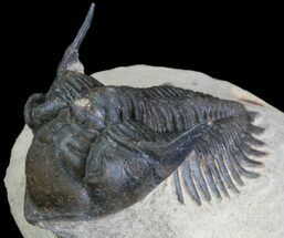 "Bargain, 1.9"" Metacanthina Trilobite - Lghaft, Morocco For Sale, #64412"