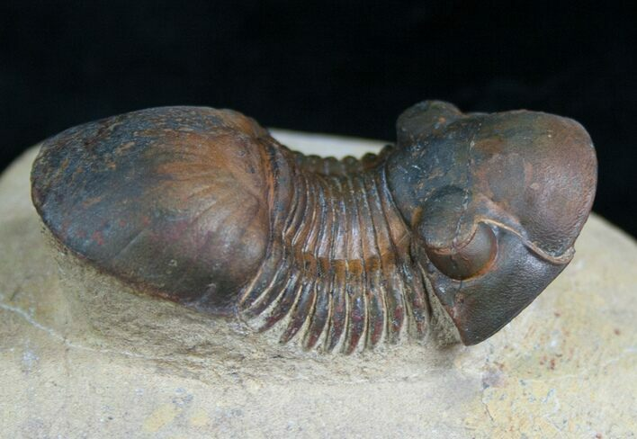 "2.3"" Paralejurus Trilobite - Beautiful Preservation"