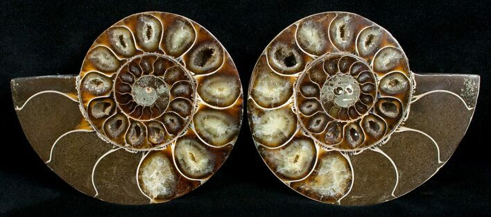 Cut & Polished Desmoceras Ammonite - 3.9""