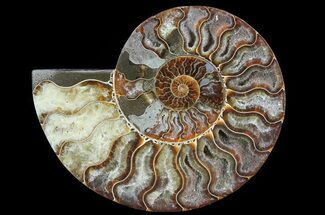 "Buy 6"" Cut Ammonite Fossil (Half) - Agatized - #64945"