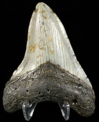 "3.41"" Megalodon Tooth - North Carolina"