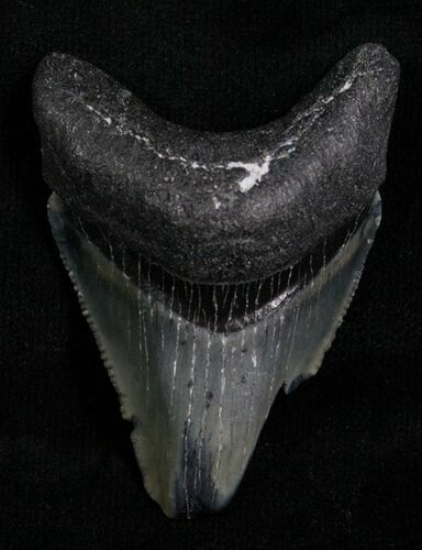 "Bargain 1.80"" Megalodon Tooth - Florida"