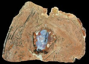 "Buy Unique ""Rotten"" Arizona Petrified Wood Slab - 13.3"" - #66175"