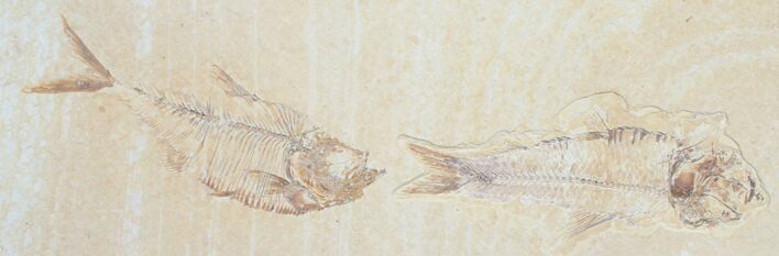 Double Diplomystus Fish Fossil