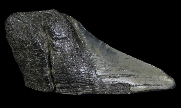 "4.93"" Fossil Megalodon Tooth ""Paper Weight"""