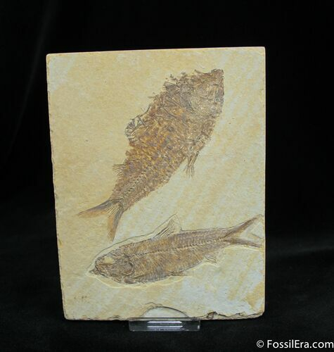 Knightia Fossil Fish Multiple On Nice Plate
