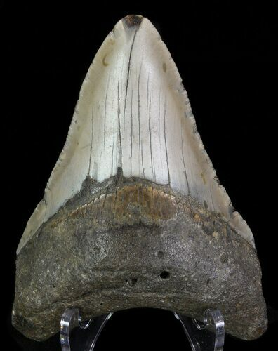 "Bargain, 3.92"" Megalodon Tooth - North Carolina"