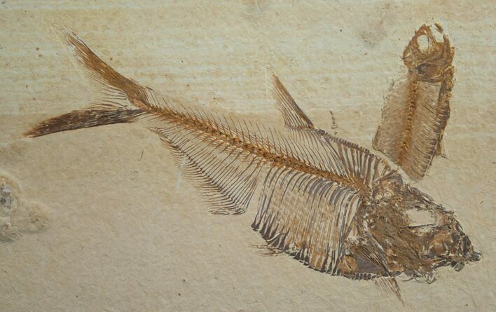 "4.9"" Diplomystus Fossil Fish - Wyoming"