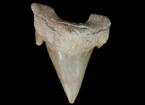 "2"" Otodus Shark Tooth Fossil - Eocene For Sale, #67181"