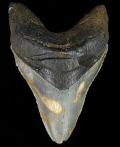 "Buy 4.79"" Megalodon Tooth - North Carolina - #67288"