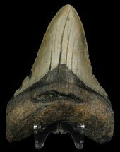 Carcharocles megalodon - Fossils For Sale - #67269