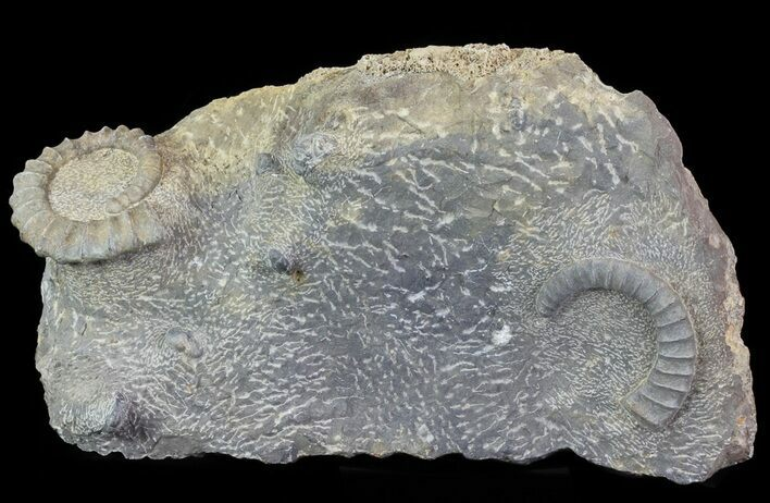 Anetoceras Ammonites With Phacops Trilobite Heads