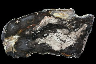 "Buy 11.6"" Polished Petrified Wood (Oak) Slab - Oregon - #68020"