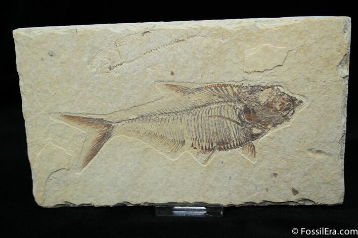 Excellent 5 Inch Diplomystus Fossil Fish