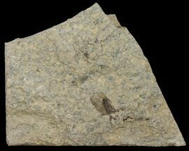 Plecia pealei - Fossils For Sale - #67638
