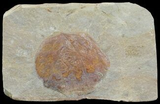 "2"" Detailed Fossil Leaf (Zizyphoides) - Montana For Sale, #68300"