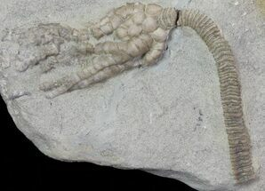 Pachylocrinus aequalis - Fossils For Sale - #68493