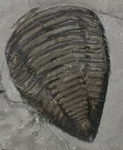 "Buy 3.4"" Partial Trimerus Trilobite - New York - #68572"