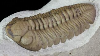 "Buy 1.5"" Kainops Trilobite - Black Cat Mountain, Oklahoma - #68635"