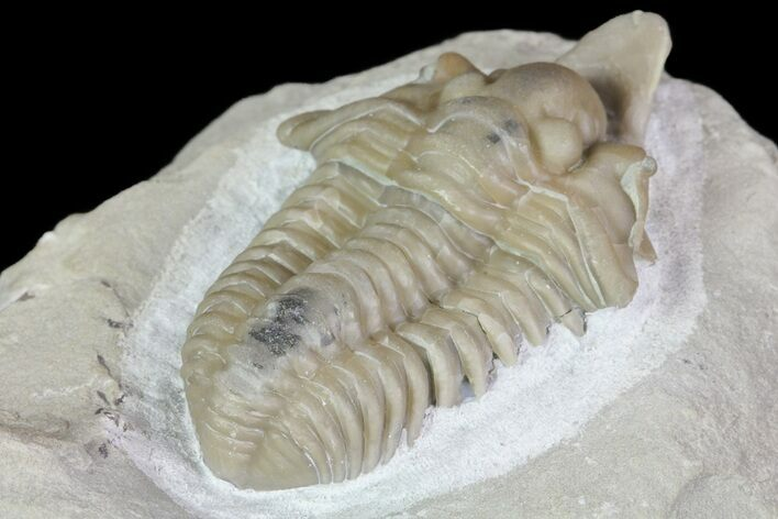 "1.4"" Rare, Spathacalymene Trilobite - Indiana (Special Price)"