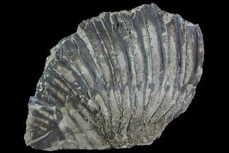 Trimerus delphinocephalus - Fossils For Sale - #68574