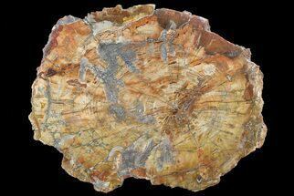 "16.3"" Colorful Petrified Wood Round - Madagascar For Sale, #69371"